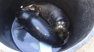 Seal pups return to wild after Exploris care