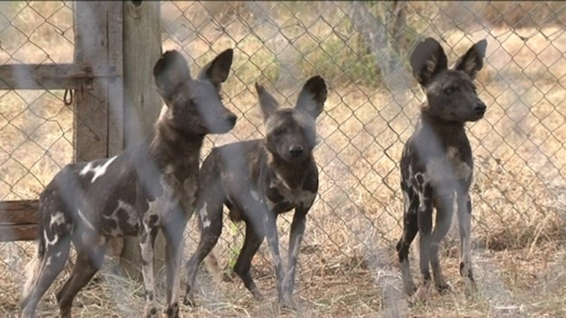 Dogs Facing Extinction Wild Dogs Face Extinction