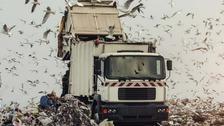 Landfill seagulls