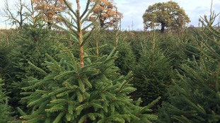 Christmas tree shortage due to pests and disease