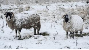 Sheep rustling warning in Scottish Borders
