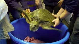 Rare sea turtle found stranded on Welsh beach makes speedy recovery