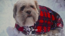 A Lhasa Apso in County Durham out in the snow in a doggy jacket