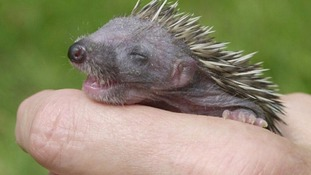 Wildlife rescue centres 'inundated with baby hedgehogs' due to mild weather