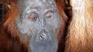 Cambridge vet in bid to save sight of orangutan shot more than 100 times with rifle