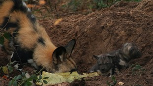 Rare wild hunting pups emerge from mother's den
