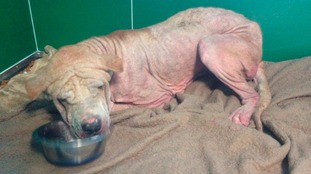 How could they? Starving dog abandoned in Oldham