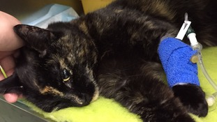 RSPCA investigate after cat is shot in neck