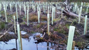 Ash Saplings in Dumfries and Galloway