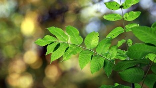 Ash dieback disease reaches Carmarthenshire