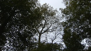 Ash dieback disease discovered in Bedfordshire