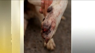 Dogs 'ripped out claws' in fear of fireworks