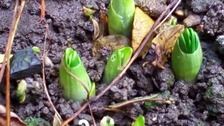 Snowdrops poking through the soil at Rushden