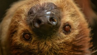 Sloth at Chester Zoo