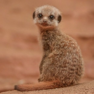 Meerkat pup at Chester Zoo