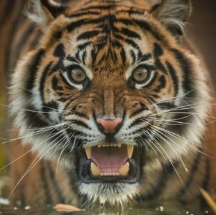 Female Sumatran tiger Kasarna
