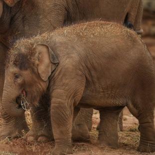 Asian elephant calf, Nandita
