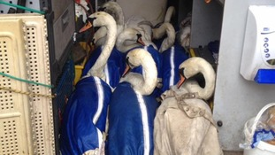 Swans rescued after oil from a bus fire poured into a river