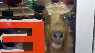 Escaped goat headbutts pensioner called Billy and causes havoc outside convenience store