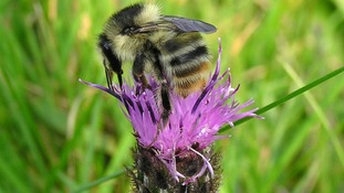 The Shrill Carder, Bombus Sylvarum bumblee.