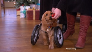 'Wonky' dog gets a new spin at life on custom wheels