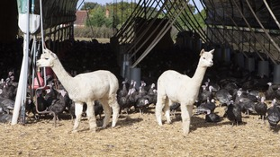 Native to South America, alpacas are used around the world to protect livestock.
