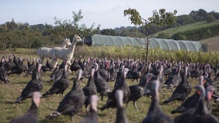 Two alpacas stand guard over the 24,000 turkeys.