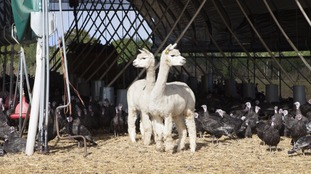 Two alpacas stand on guard for foxes.