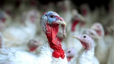 Bird flu: farmers told to keep chickens and turkeys indoors
