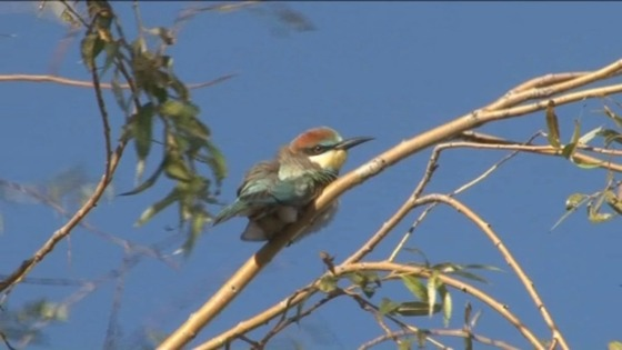 Bee-eater birds are very rare in this part of Europe at this time of year
