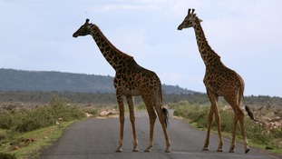 Warning giraffes suffering 'silent extinction'