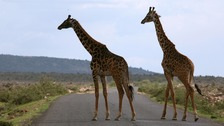 Giraffes are suffering 'silent extinction'