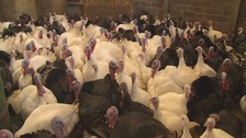 Turkeys are at risk from infection