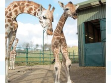 Baby giraffe takes first steps at Kent zoo