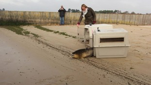 Seals released back into the wild