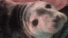 "GSPCA rescues injured seal pup with ""nasty injury"""