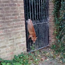 Fox stuck in gate