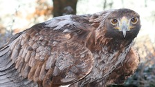 A search is underway for a golden eagle that has escaped in Suffolk.