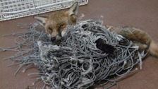 A fox was entangled in netting in Cannock in Staffordshire