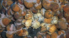 A group of hairy-chested 'Hoff crabs'