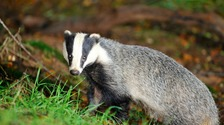 More than 10,000 badgers have been killed to stop the spread of a disease