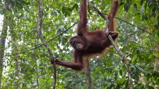 Two rescued orangutans released back into the wild