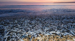 Thousands of dead fish wash up on Cornish beach