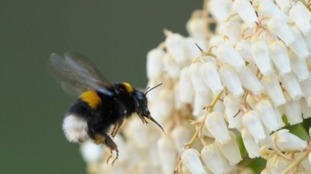 "When leaving a newly discovered flower, male bumblebees perform a ""learning"" flight."