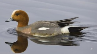 The duck was found dead in Llanelli and tested positive for the H5N8 strain of Avian Influenza