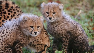 Rare cheetah cubs take first steps outside
