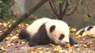 China has developed the world's largest artificial population of captive pandas.