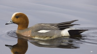 A wigeon on the water