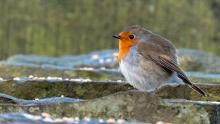 A robin in Droylsden