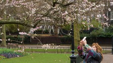 A woman takes a picture of a tree in blossom in St James Park in London on Christmas Day 2016.